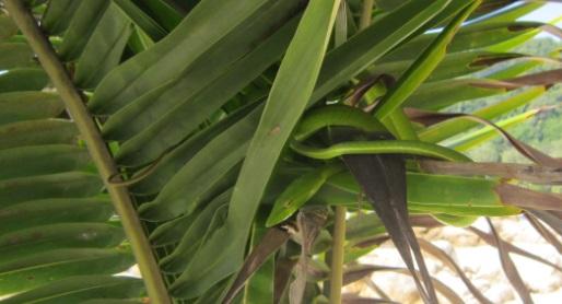Serpiente oculta en una palmera