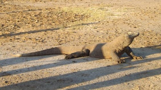 Dragón de Komodo a las puertas del Parque Nacional