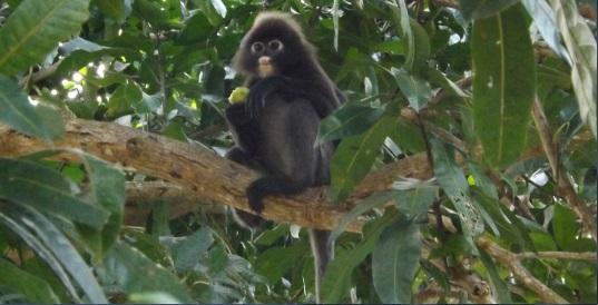 Mono Langur en el jardín de nuestro bungalow