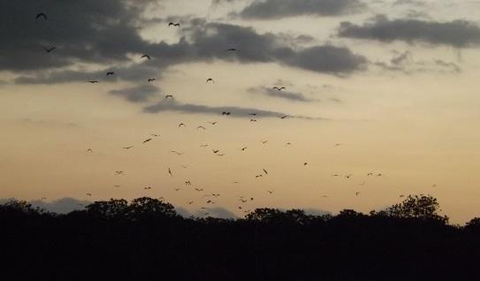 Muchos murciélagos cambiando de isla
