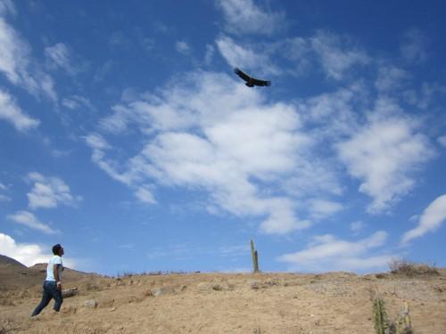 Cóndor sobrevolando el Cañon del Colca