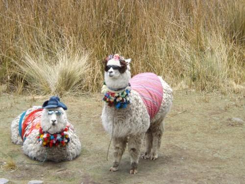 Alpacas tuneadas