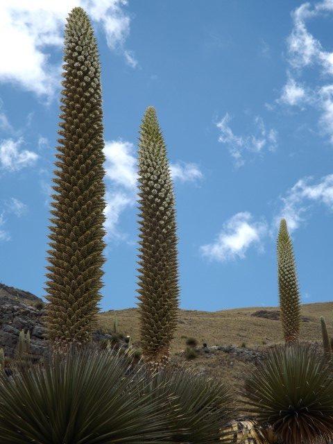 Puyas Raimondi en floración